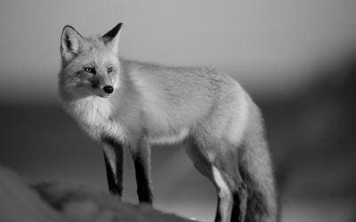 Lay of the Fox